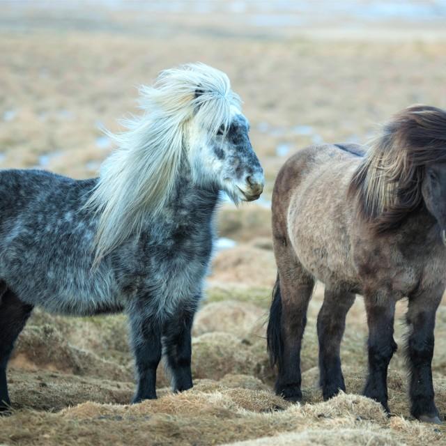 """""""Icelandic Pony"""" stock image"""