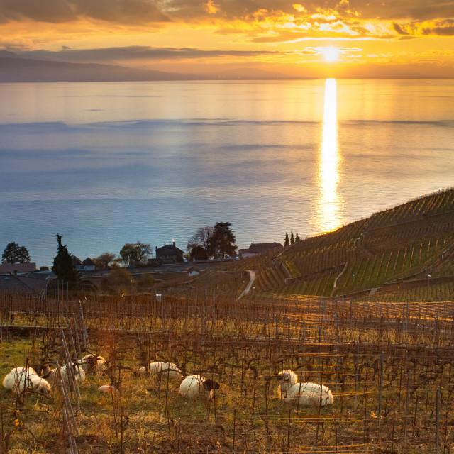 """Sunset over Lac Léman, Suisse"" stock image"