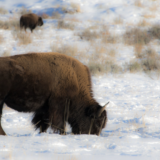 """""""Son of a Bison!"""" stock image"""