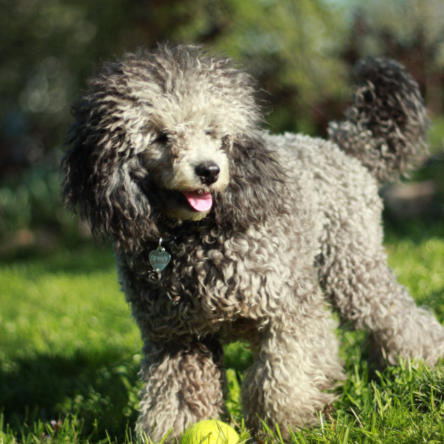 """Poodle with ball"" stock image"