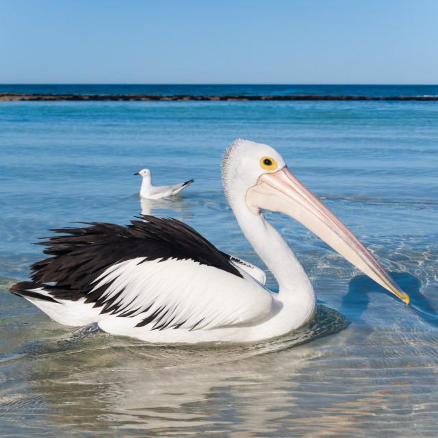 """Australian pelican on an australian beach"" stock image"