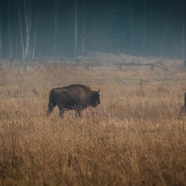 """Wild Bisons"" stock image"