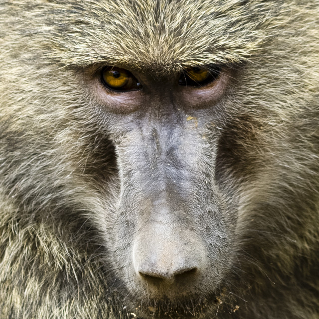 """Portrait of a baboon"" stock image"
