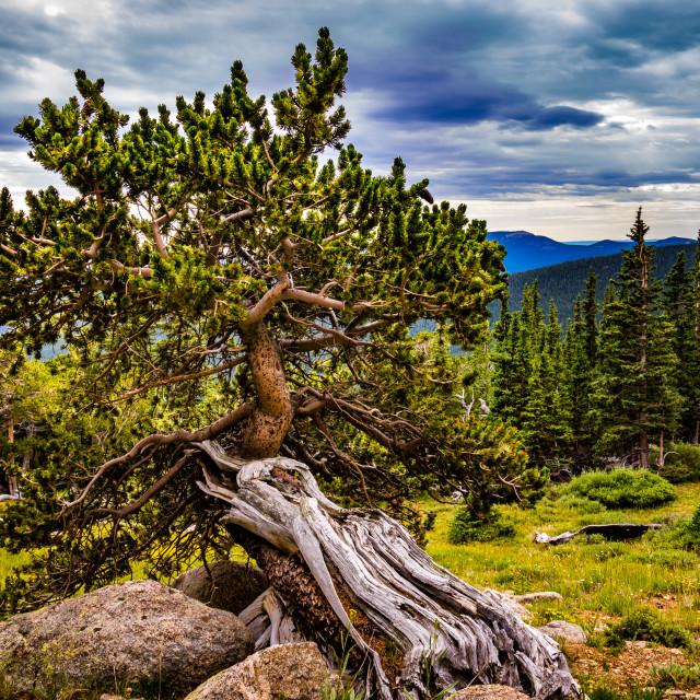 """BristleCone Pine"" stock image"