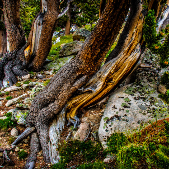 """Twisted Trunks of Bristlecone pines"" stock image"