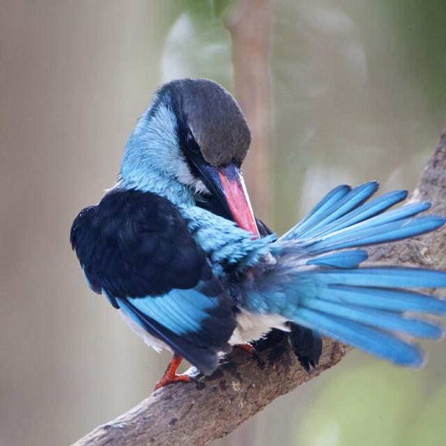 """Teugelijsvogel, Blue-breasted Kingfisher, Halcyon malimbica"" stock image"