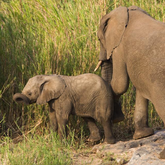 """""""Afrikaanse Olifant, African Elephant, Loxodonta africana"""" stock image"""