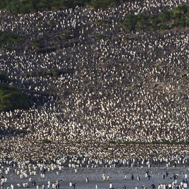 """Koningspinguïn kolonie, King Penguin colony"" stock image"