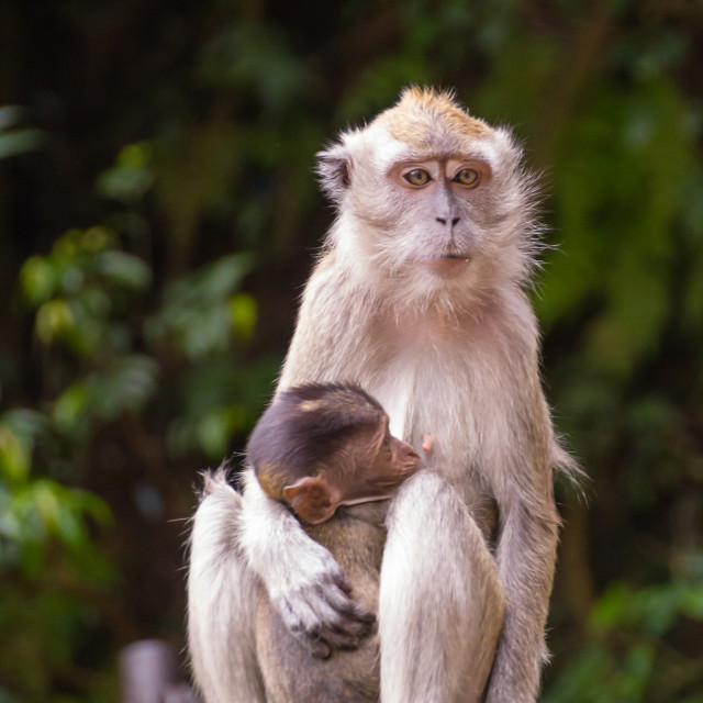"""Parent monkey"" stock image"