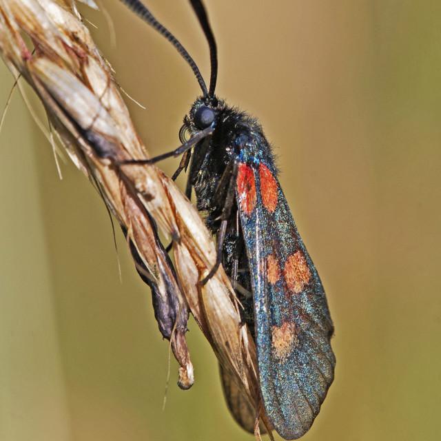 """""""Burnetts Moth (Zygaena fillipendulae)"""" stock image"""