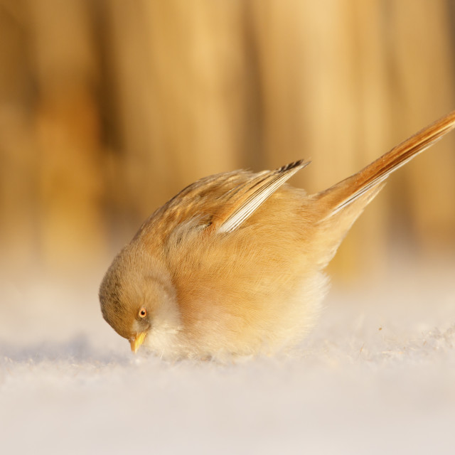 """Baardman vrouw in de sneeuw; bearded tit female in the snow;"" stock image"