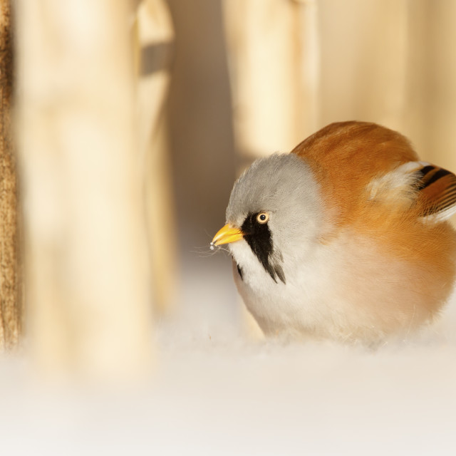 """""""Baardman man in de sneeuw; bearded tit ale in the snow;"""" stock image"""