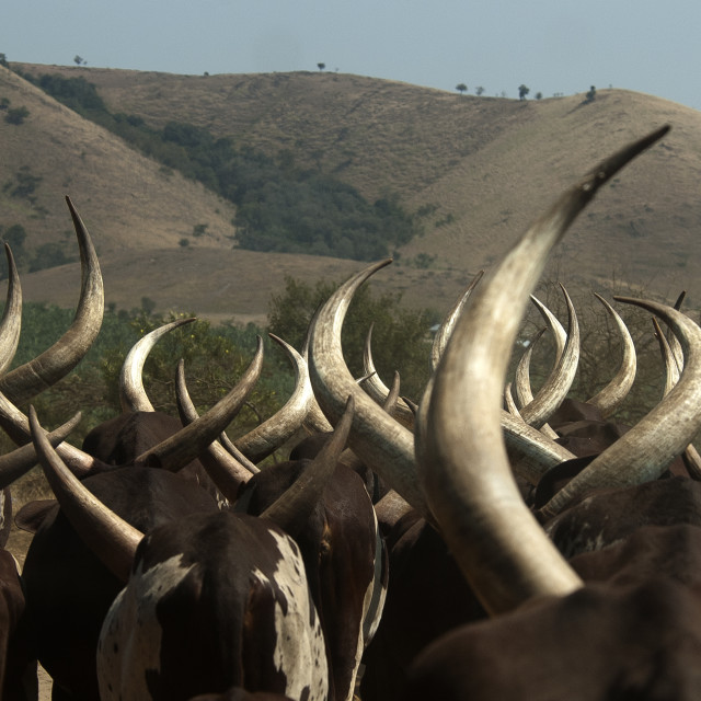 """""""Koeien in Oeganda, Cows in Uganda"""" stock image"""