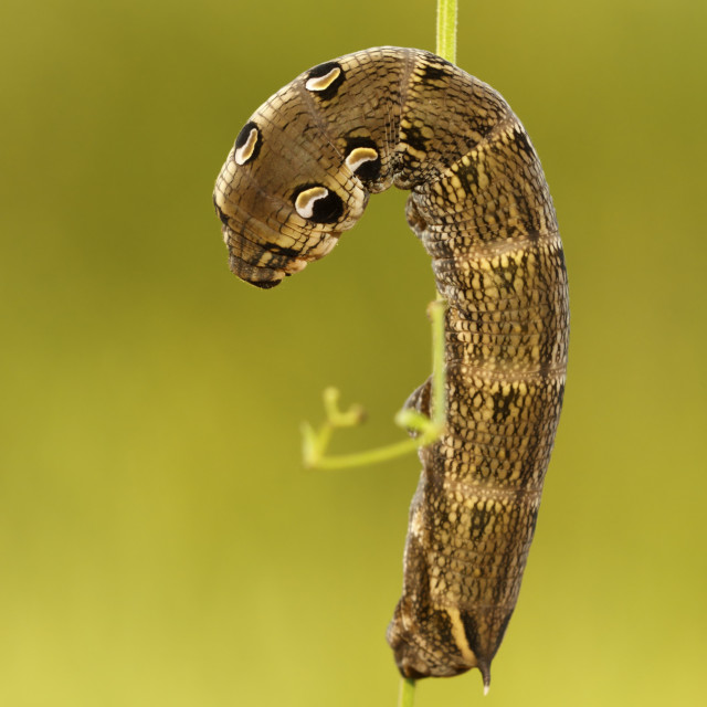 """Groot avondrood; Elephant Hawk-moth; Deilephila elpenor.."" stock image"