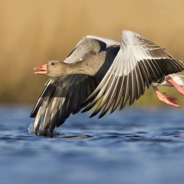 """""""Grauwe gans; Greylag Goose; Anser anser"""" stock image"""