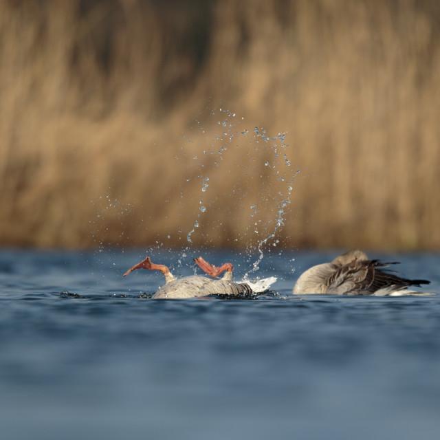 """""""Grauwe gans ; Greylag Goose.; Anser anser"""" stock image"""