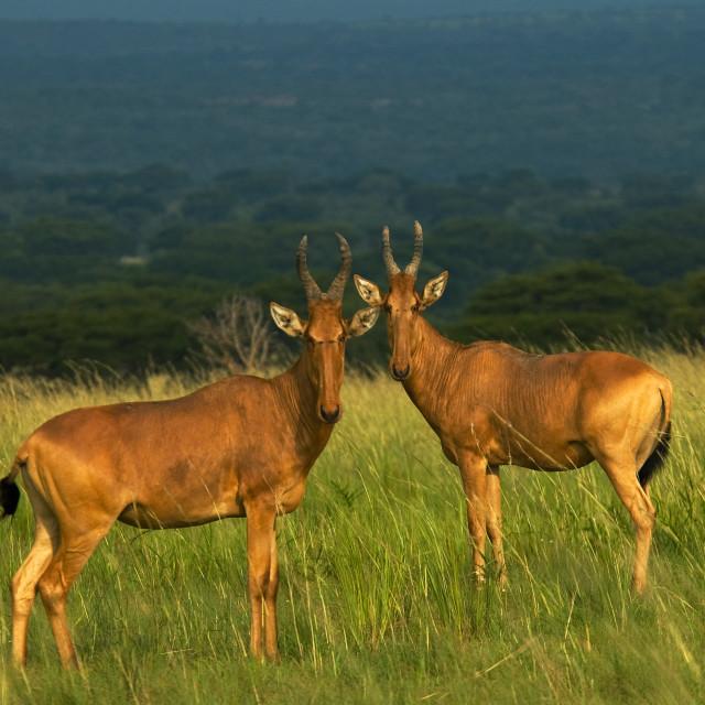 """""""Hartenbeest, Hartenbeest, Alcelaphus buselaphus"""" stock image"""