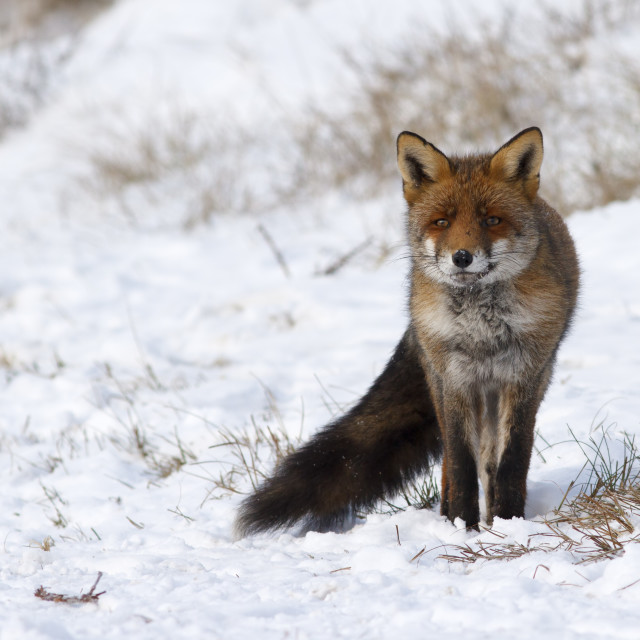 """vos, red fox; vulpes vulpes"" stock image"