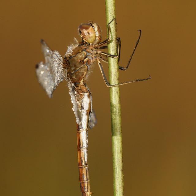 """Bruinrode heidelibel; Common Darter; Sympetrum striolatum"" stock image"