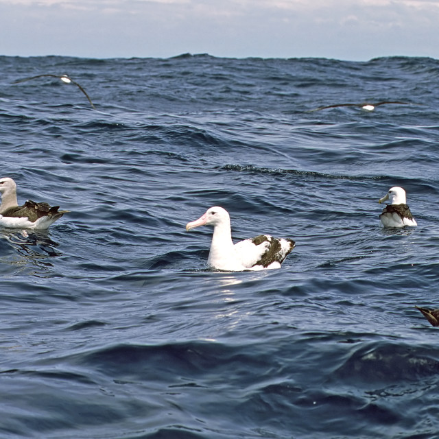 """Grote Albatros, Wandering Albatross, Diomedea exulans, Witkapalbatros, Shy Albatross, Thalassarche cauta"" stock image"