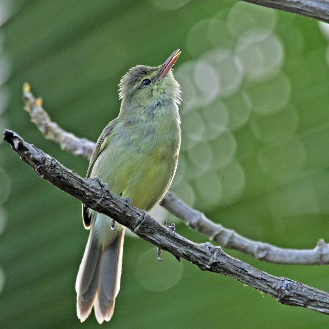 """Mangaiakarekiet, Cook Islands Reed-Warbler, Acrocephalus kerearako"" stock image"