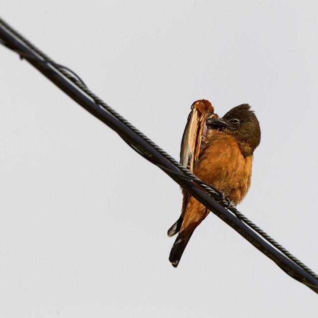 """Zwaluwtiran, Cliff Flycatcher, Hirundinea ferruginea"" stock image"