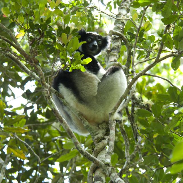 """""""Indri, Indri indri"""" stock image"""
