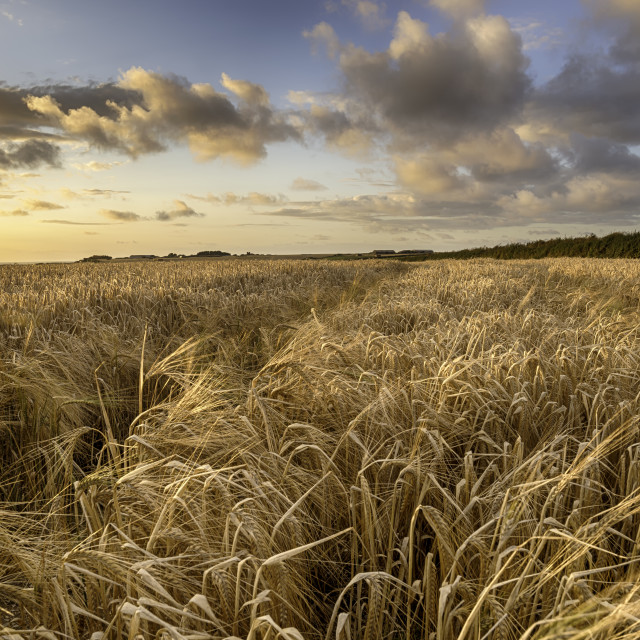 """A field of golden ripe barley in the Cornish countryside"" stock image"