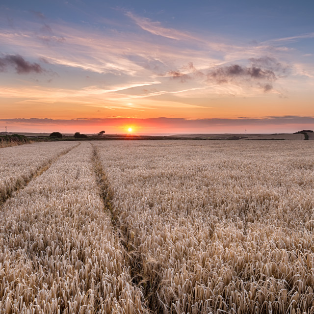 """Barley Field in the Cornish Countryside"" stock image"