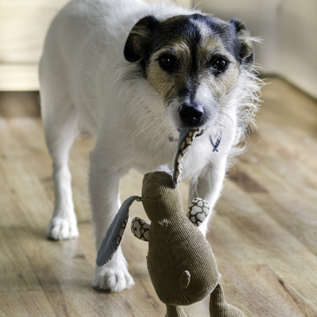 """Dog Carrying Toy"" stock image"
