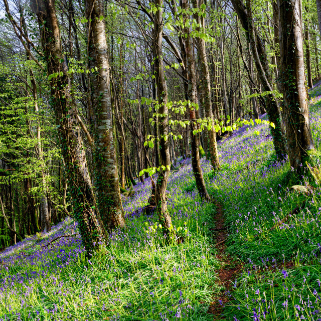 """Bluebell Wood in Spring"" stock image"