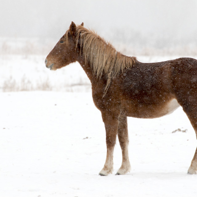 """""""Horse in Snow"""" stock image"""