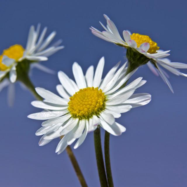 """three daisies"" stock image"