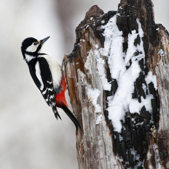 """""""Grote Bonte Specht, Great Spotted Woodpecker, Dendrocopos major"""" stock image"""