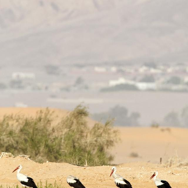 """Ooievaar, White Stork, Ciconia ciconia"" stock image"