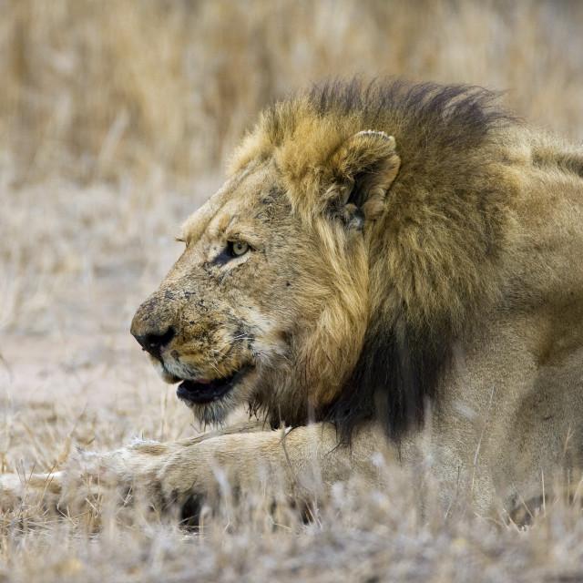 """Afrikaanse Leeuw, African Lion, Panthera leo"" stock image"