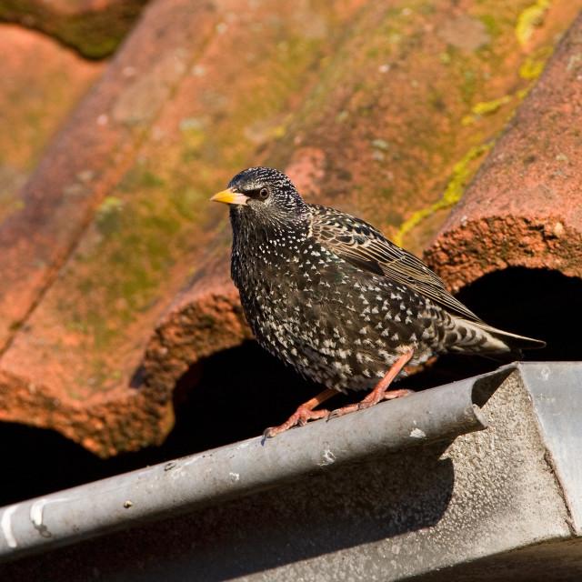 """Spreeuw; Common Starling; Sturnus vulgaris"" stock image"