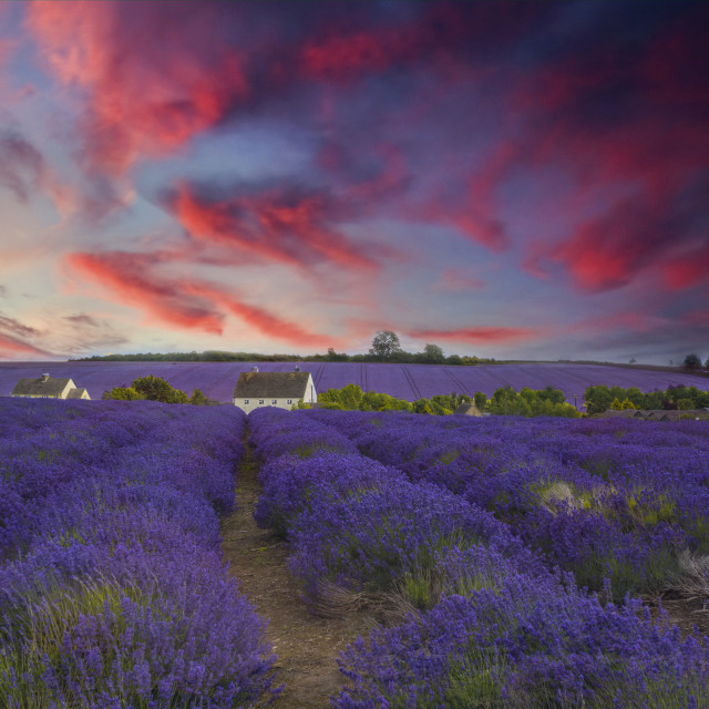 """Fields of Lavender"" stock image"