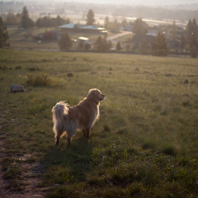 """Golden Retriever in field"" stock image"