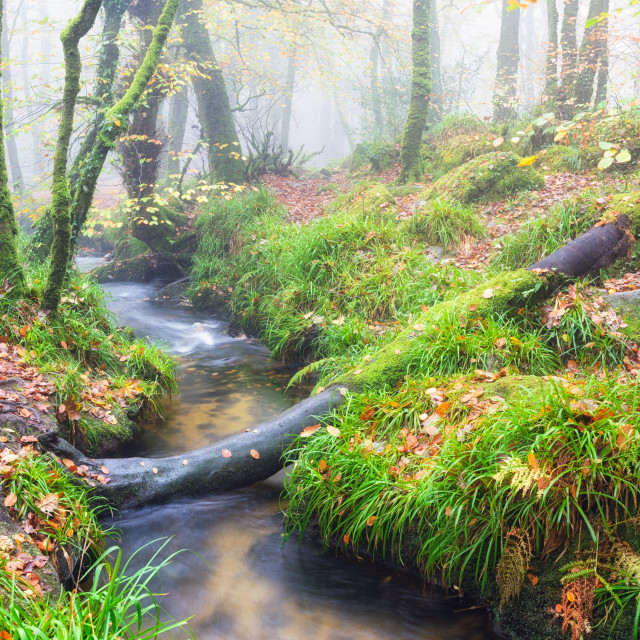 """""""Foggy Autumn Forest"""" stock image"""