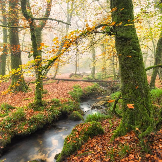"""""""Foggy Autumn Woods"""" stock image"""