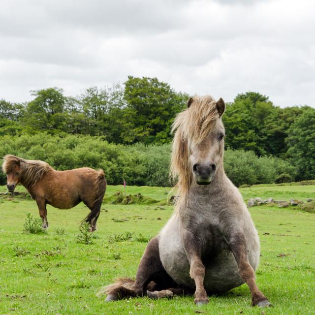 """Miniature Horse"" stock image"