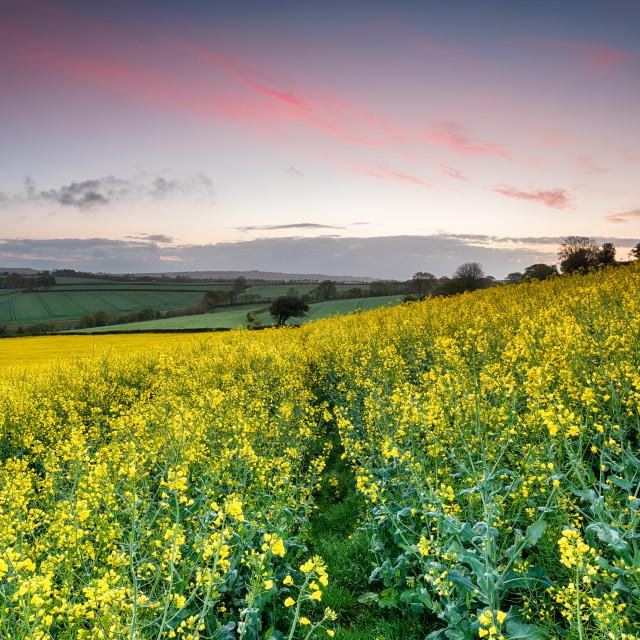 """Sunrise over Rapeseed Fields"" stock image"