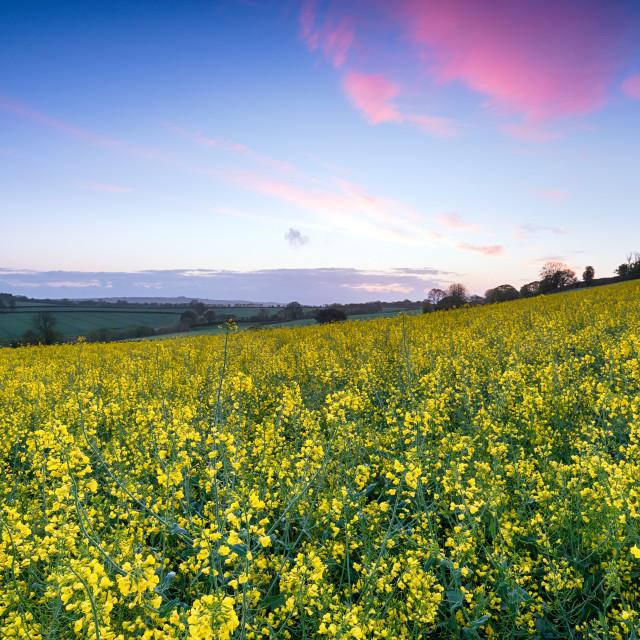 """Sunrise over Mustard Seed Fields"" stock image"