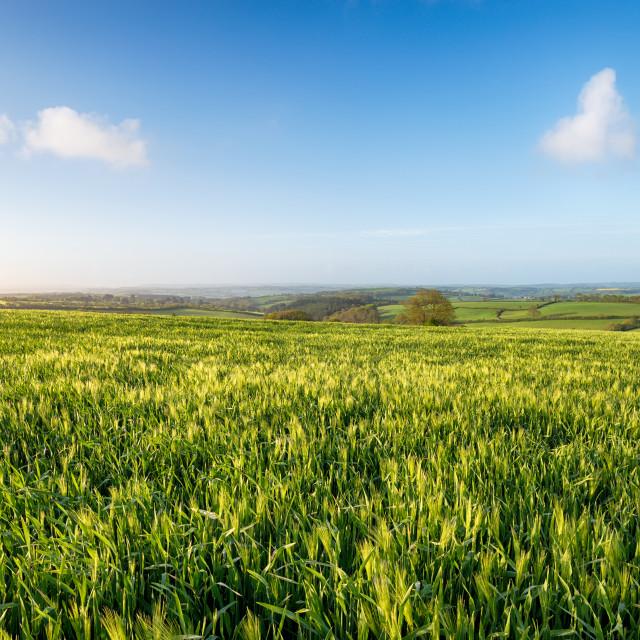 """Barley Fields in Cornwall"" stock image"