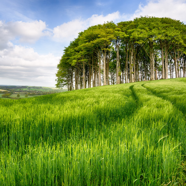"""Copse of Trees in Barley Field"" stock image"