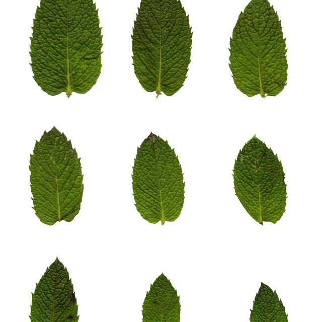 """""""Green mint leafs"""" stock image"""