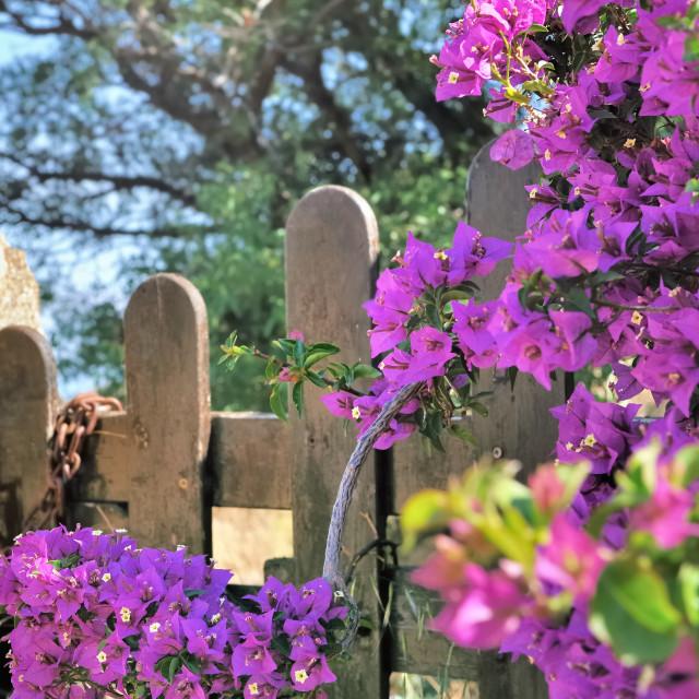 """""""beautiful purple bougainvillea"""" stock image"""