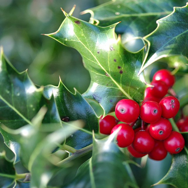 """Holly Berries"" stock image"