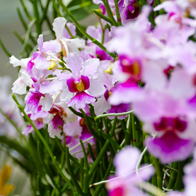 """""""Singapore Orchids"""" stock image"""